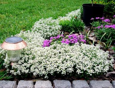 Bulk Sweet Alyssum Seeds - Carpet of Snow