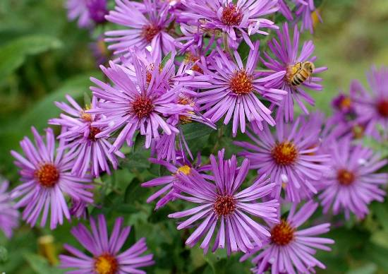 Aster Flower Seeds Bulkwildflowers Com