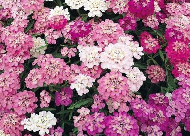 Bulk Candytuft Seeds - Mixed Colors - 1/4 Pound