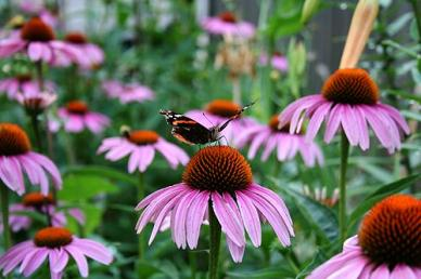 Bulk Purple Coneflower Seeds (Echinacea) - 1/4 Pound