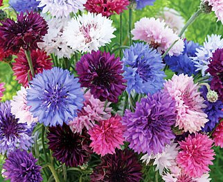 Bulk Cornflower / Bachelor Button Seeds - Tall Mix - 1/4 Pound