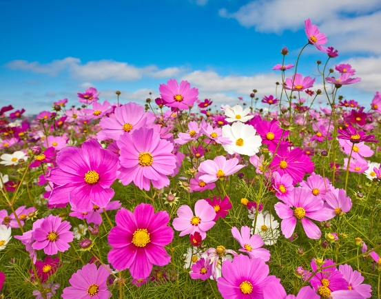 Bulk Wild Cosmos Seeds - Sensation Mix - 1/4 Pound