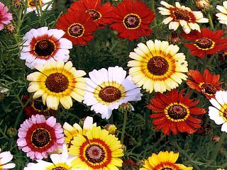 Bulk Painted Daisy Seeds - 1/4 Pound