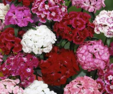 Bulk Sweet William Seeds - Herald of Spring Mix