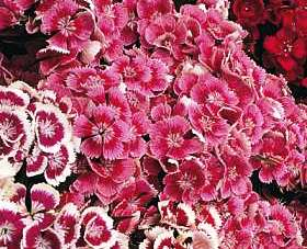 Bulk Sweet William Seeds - Indian Carpet Dwarf Single Mix