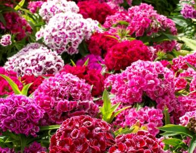 Bulk Sweet William Seeds - Tall Double Mix