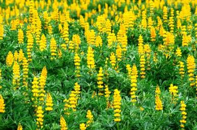 Bulk Annual Lupine Seeds - Golden Yellow