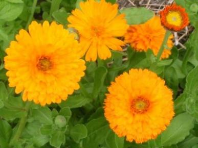 Bulk Calendula Seeds - Pacific Beauty Orange