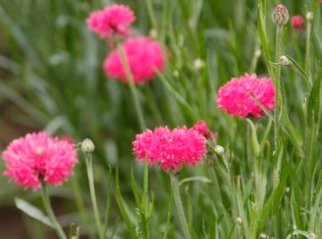 Bulk Cornflower / Bachelor Button Seeds - Tall Red