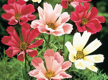 Bulk Cosmos  Seeds - Seashells - 1/4 Pound