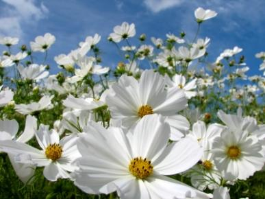 Bulk Cosmos Seeds - Purity - 1/4 Pound
