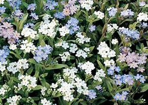 Bulk Forget Me Not Seeds - Mixed Colors