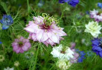 Bulk Love in a Mist Seeds - Mixed Colors - 1/4 Pound