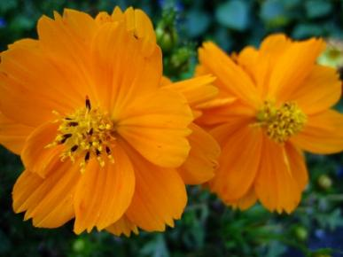 Bulk Sulphur Cosmos Seeds - Orange - 1 Pound