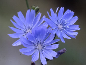 Bulk Chicory Seeds - 1/4 Pound