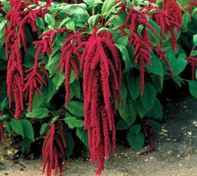 Bulk Love Lies Bleeding Seeds