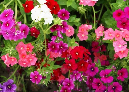 Bulk Annual Phlox Seeds - Dwarf Mix