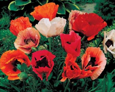 Bulk Oriental Poppy Seeds - Mixed Colors - 1/4 Pound