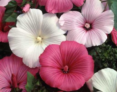 Bulk Rose Mallow / Tree Mallow Seeds - Mixed Colors - 1/4 Pound
