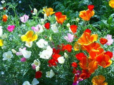 Bulk California Poppy Seeds - Mixed Colors - 1/4 Pound