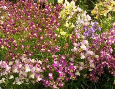 Bulk Toadflax / Spurred Snapdragon Seeds - 1/4 Pound