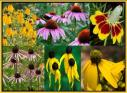 Coneflower Seed Mix