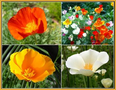 Bulk California Dreaming - California Poppy Flower Seed Mix