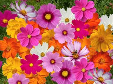 Bulk Crazy For Cosmos - Cosmos Flower Seed Mix