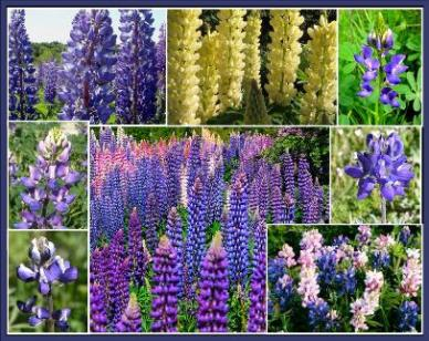 Bulk Loopy - Lupine Flower Seed Mix