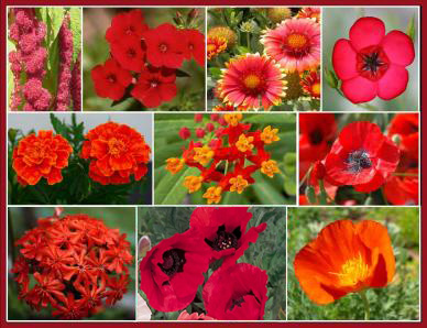 Bulk Red Head - Exclusive Red Wildflower Seed Mix