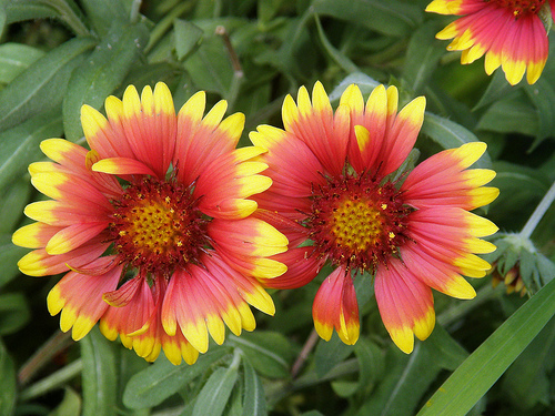 Indian Blanket Flower Seeds Bulkwildflowers Com