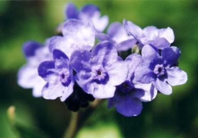 Bulk Chinese Forget Me Not Seeds - 1/4 Pound