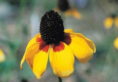 Bulk Clasping Coneflower Seeds - 1/4 Pound