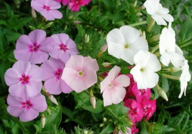 Bulk Annual Phlox (Mixed Colors) Seeds - Phlox drumondii - 1/4 Pound