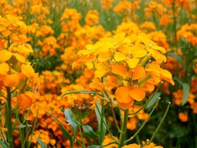 Bulk Siberian Wallflower Seeds - 1/4 Pound